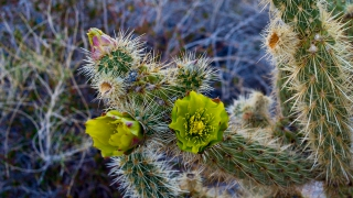 Desert cactus flower at Indian Valley