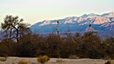 Death Valley campground, two crows