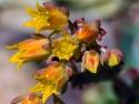 Echeveria Flower Succulent Bloom