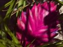 Tillandsia Cyanea Pink Quill Air Plant