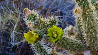 Desert cactus flower at Indian Valley